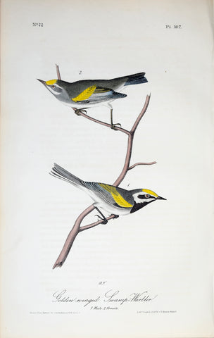 John James Audubon (American, 1785-1851), Pl 107 - Gold-winged Swamp-Warbler