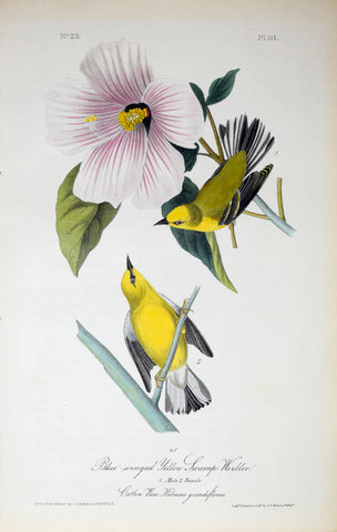 John James Audubon (American, 1785-1851), Pl 111 - Blue-winged Yellow Swamp Warbler