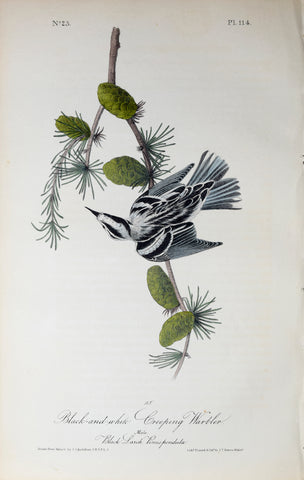 John James Audubon (American, 1785-1851), Pl 114 - Black-and-white Creeping Warbler