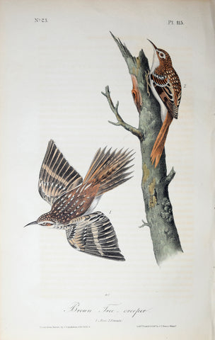 John James Audubon (American, 1785-1851), Pl 115 - Brown Tree-creeper