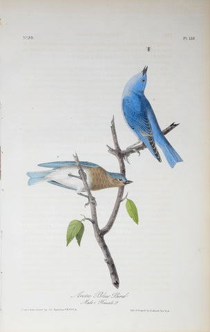 John James Audubon (American, 1785-1851), Pl 136 - Arctic Blue Bird
