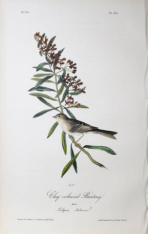 John James Audubon (American, 1785-1851), Pl 161 - Clay-coloured Bunting
