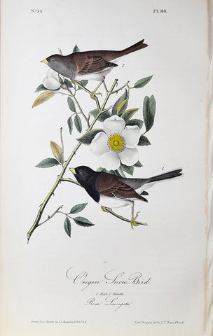 John James Audubon (American, 1785-1851), Pl 168 - Oregon Snow Bird