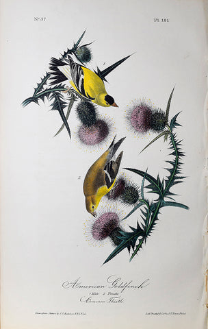 John James Audubon (American, 1785-1851), Pl 181 - American Goldfinch