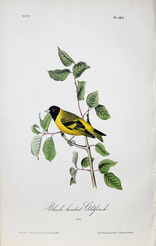 John James Audubon (American, 1785-1851), Pl 182 - Black-headed Goldfinch
