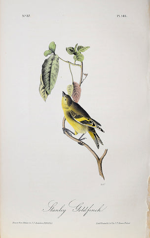 John James Audubon (American, 1785-1851), Pl 185 - Stanley Goldfinch