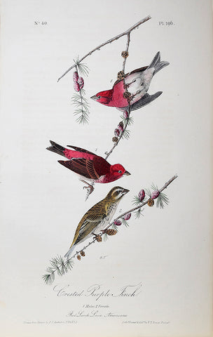 John James Audubon (American, 1785-1851), Pl 196 - Crested Purple Finch
