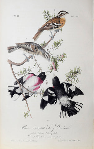 John James Audubon (American, 1785-1851), Pl 205 - Rose-breasted Long-Grosbeak