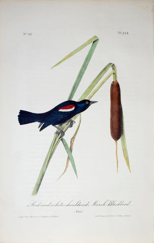 John James Audubon (American, 1785-1851), Pl 214 - Red-and-white-shouldered Marsh Blackbird