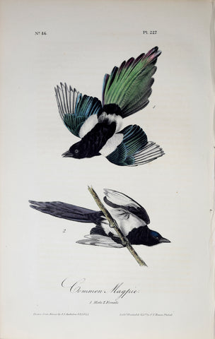 John James Audubon (American, 1785-1851), Pl 227 - Common Magpie
