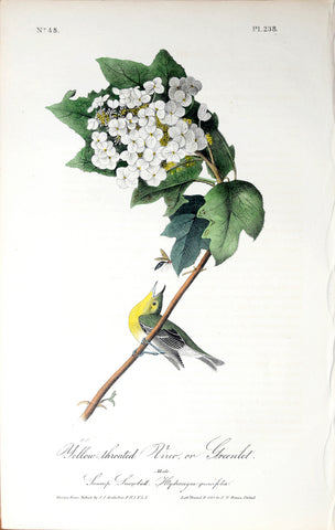 John James Audubon (American, 1785-1851), Pl 238 - Yellow-throated Vireo or Greenlet