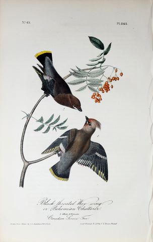 John James Audubon (American, 1785-1851), Pl 245 - Black-throated Wax-wing or Bohemian Chatterer