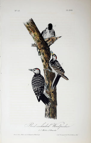 John James Audubon (American, 1785-1851), Pl 264 - Red-cockaded Woodpecker