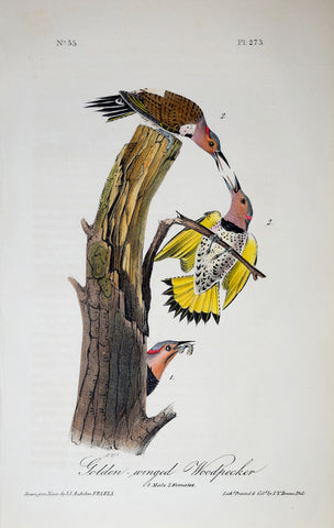 John James Audubon (American, 1785-1851), Pl 273 - Golden-winged Woodpecker
