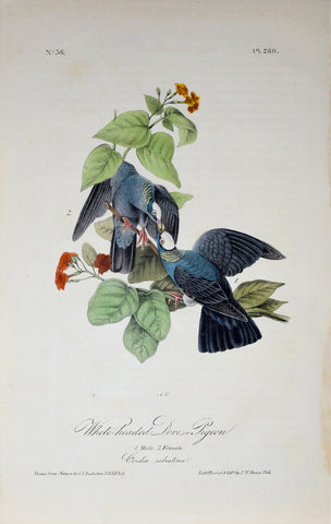 John James Audubon (American, 1785-1851), Pl 280 - White-headed Dove or Pigeon