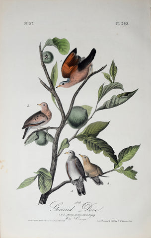 John James Audubon (American, 1785-1851), Pl 283 - Ground Dove
