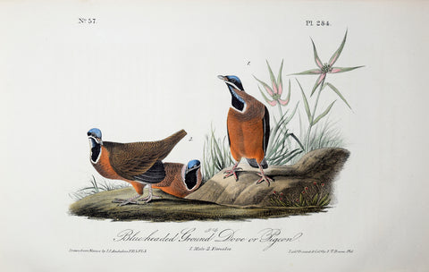 John James Audubon (American, 1785-1851), Pl 284 - Blue-headed Ground Dove or Pigeon