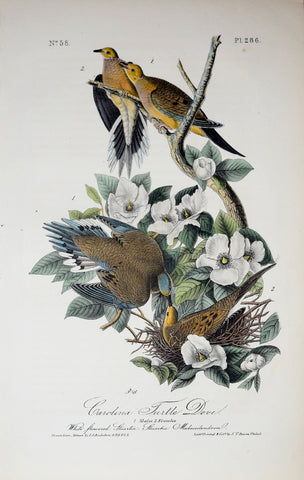 John James Audubon (American, 1785-1851), Pl 286 - Carolina Turtle Dove