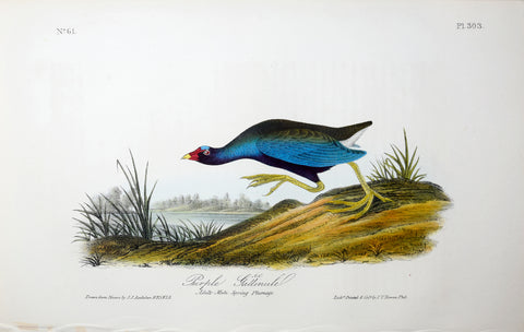 John James Audubon (American, 1785-1851), Pl 303 - Purple Gallinule