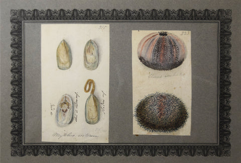 Richard Polydore Nodder (1793-1820), Plate 315 and Plate 223