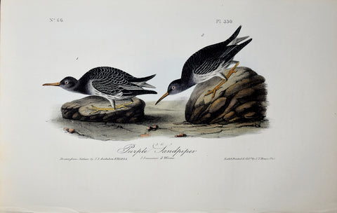 John James Audubon (American, 1785-1851), Pl 330 - Purple Sandpiper