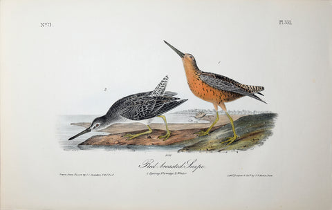 John James Audubon (American, 1785-1851), Pl 351 - Red-breasted Snipe