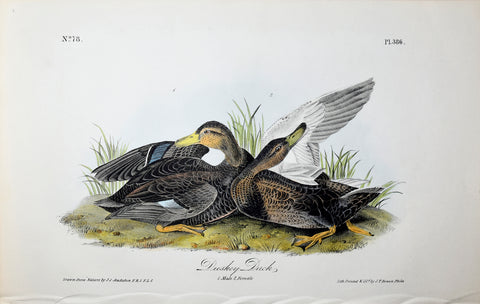 John James Audubon (American, 1785-1851), Pl 386 - Duskey Duck
