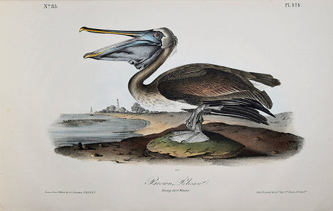 John James Audubon (American, 1785-1851), Pl 424 - Brown Pelican