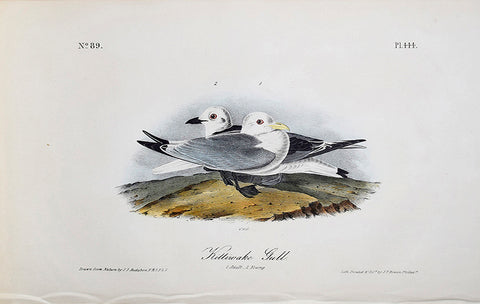 John James Audubon (American, 1785-1851), Pl 444 - Kittiwake Gull