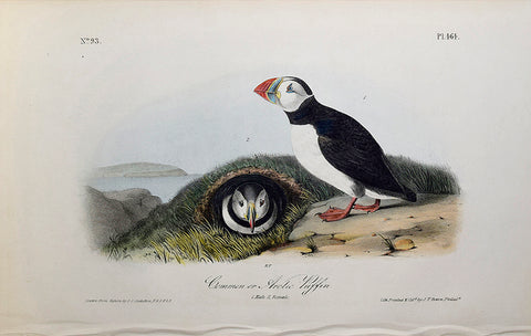 John James Audubon (American, 1785-1851), Pl 464 - Common or Arctic Puffin