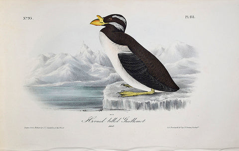 John James Audubon (American, 1785-1851), Pl 471 - Horned-billed Guillemot