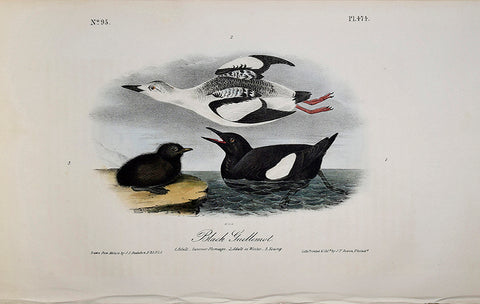 John James Audubon (American, 1785-1851), Pl 474 - Black Guillemot