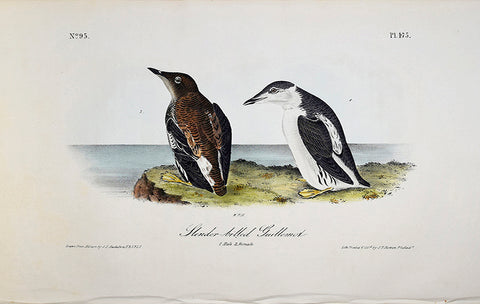 John James Audubon (American, 1785-1851), Pl 475 - Slender-billed Guillemot