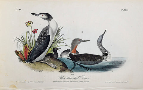 John James Audubon (American, 1785-1851), Pl 478 - Red-throated Diver