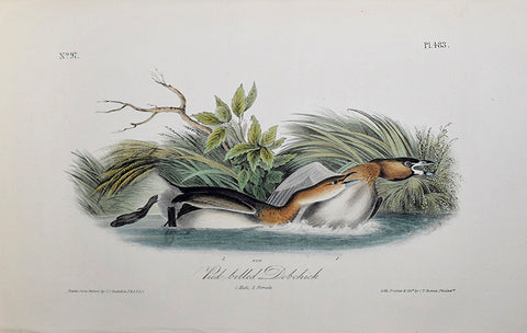 John James Audubon (American, 1785-1851), Pl 483 - Pied-billed Dobchick