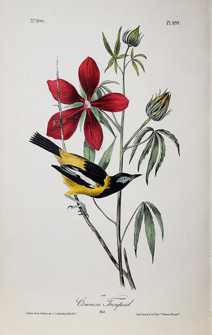 John James Audubon (American, 1785-1851), Pl 499 - Common Troupial