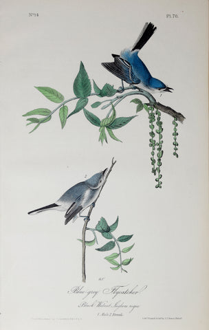 John James Audubon (American, 1785-1851), Pl 70 - Blue-grey Flycatcher