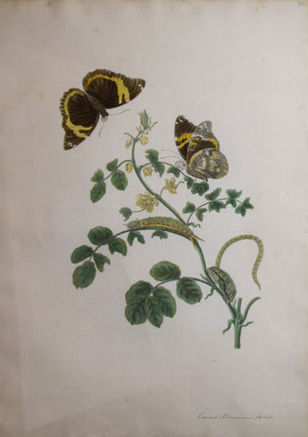 Maria Sibylla Merian, The Slaaperties Plant, Plate 32