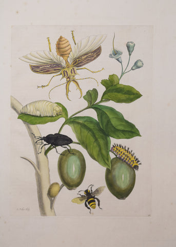 Maria Sibylla Merian (1647-1717), Branch with Beetles, Insects and Caterpillars; Plate 48