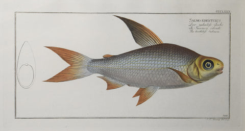 Marcus Elieser Bloch (1723-1799), Plate CCCLXXX The Toothless Salmon