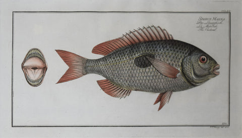 Marcus Elieser Bloch (1723-1799),  Plate CCLXX The Cackerel