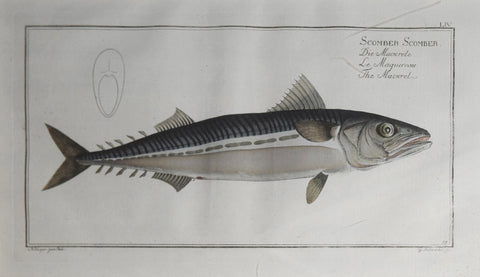 Marcus Elieser Bloch (1723-1799), Plate LIV The Mackrel