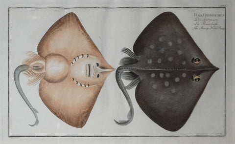 Marcus Elieser Bloch (1723-1799), Plate LXXX The Sharp Nosed Ray