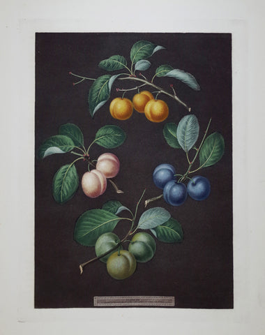 George Brookshaw (1751-1823), Plums, Pl XVI