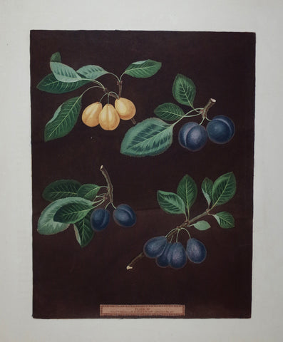 George Brookshaw (1751-1823), Plums, Pl XV