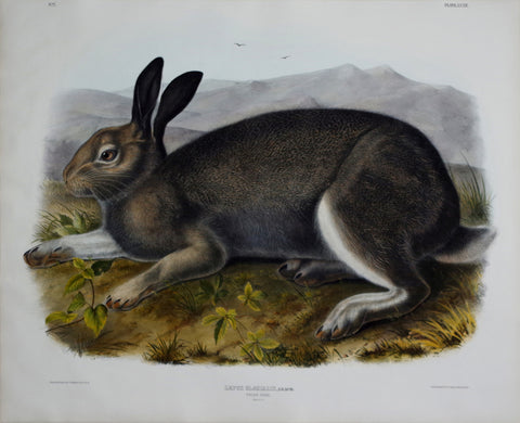 John James Audubon (1785-1851) & John Woodhouse Audubon (1812-1862), Polar Hare Pl. XXXII