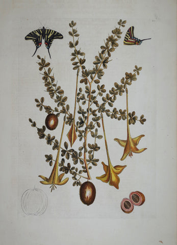 Mark Catesby (1683-1749), Prickly Apple P100