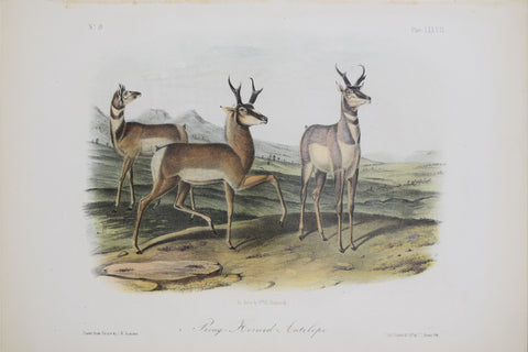 John James Audubon (1785-1851) & John Woodhouse Audubon (1812-1862), Prong Horned Antelope Pl. LXXVII
