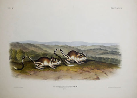 John James Audubon (1785-1851) & John Woodhouse Audubon (1812-1862), Pouched Jerboa Mouse Pl. CXXX