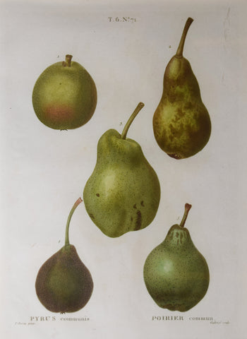 Pancrace Bessa (1772-1835), after, Pyrus No 71
